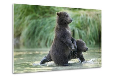 Brown Bear Cubs, Katmai National Park, Alaska-Paul Souders-Metal Print