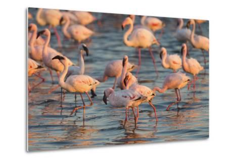 Greater Flamingoes (Phoenicopterus Ruber) and Lesser Flamingoes (Phoenicopterus Minor)-Ann and Steve Toon-Metal Print