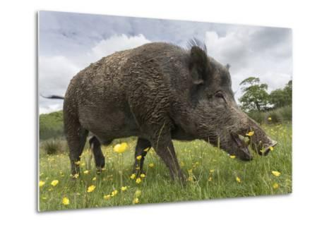 Wild Boar (Sus Scrofa), Captive, United Kingdom, Europe-Ann and Steve Toon-Metal Print