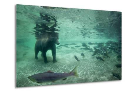Underwater Brown Bear, Katmai National Park, Alaska-Paul Souders-Metal Print