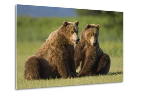 Two Brown Bears Sitting in Meadow at Hallo Bay-Paul Souders-Metal Print