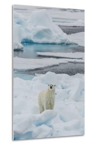 Young Adult Polar Bear (Ursus Maritimus) on Ice in Hinlopen Strait-Michael Nolan-Metal Print