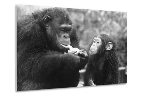 Chimpanzee with Her Young--Metal Print