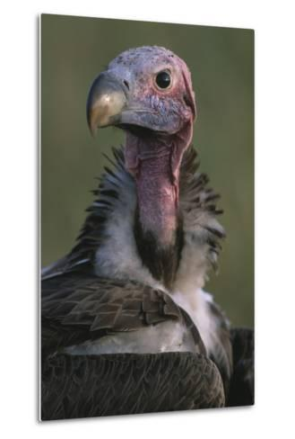 Close-Up of Lappet-Faced Vulture-Paul Souders-Metal Print