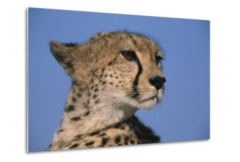 Close-Up of Cheetah-Paul Souders-Metal Print
