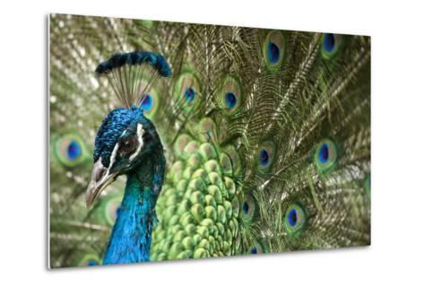 Male Indian Peacock in Costa Rica-Paul Souders-Metal Print