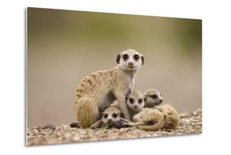 Meerkat with Pups-Paul Souders-Metal Print
