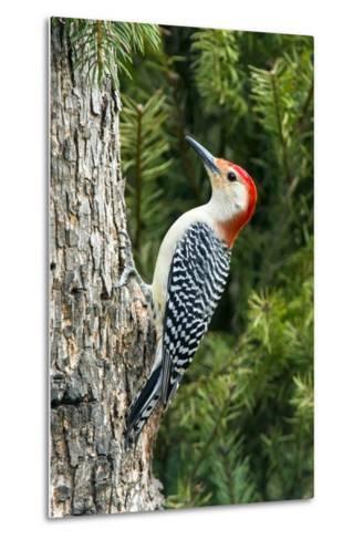 Red-Bellied Woodpecker-Gary Carter-Metal Print