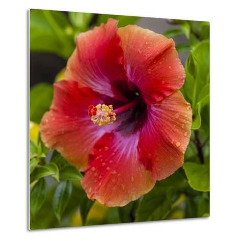 Close-Up of Hibiscus Flower-Richard T. Nowitz-Metal Print
