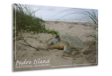 Padre Island National Seashore - Kemp's Ridley Sea Turtle Hatching-Lantern Press-Metal Print