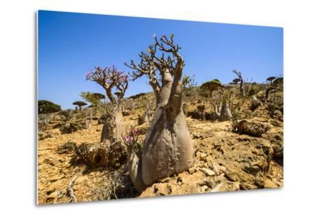 Bottle Trees in Bloom (Adenium Obesum), Endemic Tree of Socotra, Homil Protected Area-Michael Runkel-Metal Print