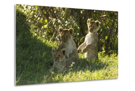 Africa Lion Cubs Playing-Mary Ann McDonald-Metal Print