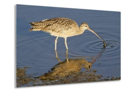 Long-Billed Curlew Catchs a Clam-Hal Beral-Metal Print