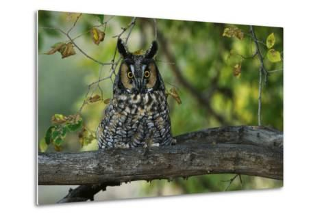Long-Eared Owl Perched on Tree Branch-W^ Perry Conway-Metal Print