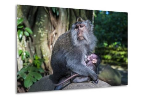 Crab-Eating Macaque (Macaca Fascicularis) Mother with Baby, Monkey Forest, Ubud, Bali, Indonesia-Michael Runkel-Metal Print