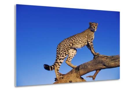 Cheetah-Martin Harvey-Metal Print