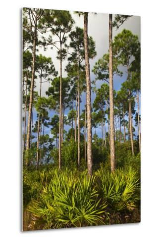 Pine Forest in Long Pine Area of Everglades NP-Terry Eggers-Metal Print