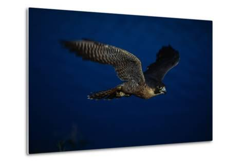 Peregrine Falcon Flying over a Lake-W^ Perry Conway-Metal Print