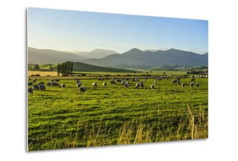 Sheep Grazing at Sunset, Queenstown, Otago, South Island, New Zealand, Pacific-Michael Runkel-Metal Print