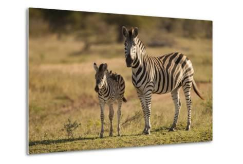 Burchell's Zebra Foal and Mother-Michele Westmorland-Metal Print