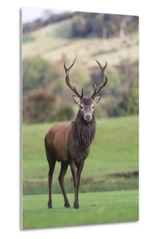Red Deer Stag (Cervus Elaphus), Arran, Scotland, United Kingdom, Europe-Ann and Steve Toon-Metal Print