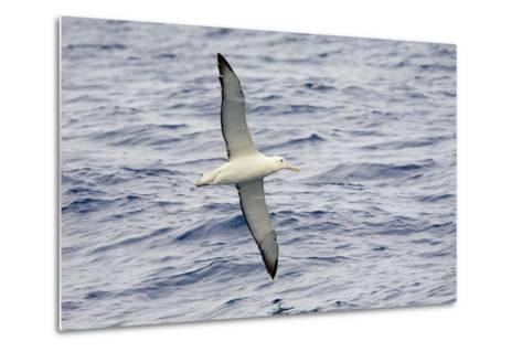 Wandering Albatross Flying above Sea-Momatiuk - Eastcott-Metal Print