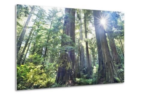 Coast Redwood Forest (Sequoia Sempervirens)-Frank Krahmer-Metal Print