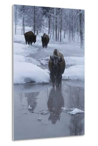 Bison Standing along a Stream in Winter-W^ Perry Conway-Metal Print