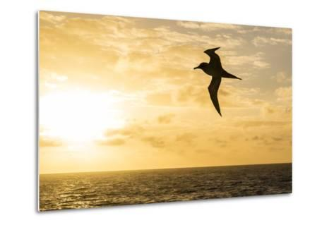 Adult Light-Mantled Sooty Albatross (Phoebetria Palpebrata) in Flight in the Drake Passage-Michael Nolan-Metal Print