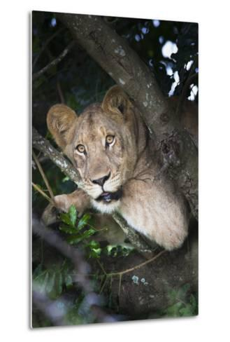 Lion (Panthera Leo) in Tree, Phinda Private Game Reserve, South Africa, Africa-Ann and Steve Toon-Metal Print