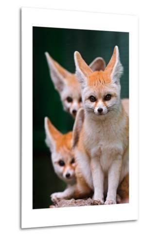 Fennec Foxes-Lantern Press-Metal Print