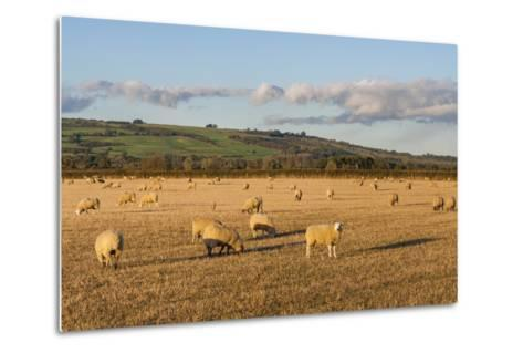 Sheep in the Cotswolds, Tewkesbury, Gloucestershire, England, United Kingdom, Europe-Matthew Williams-Ellis-Metal Print
