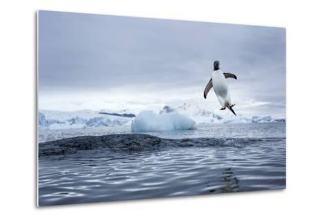 Gentoo Penguin on Cuverville Island, Antarctica-Paul Souders-Metal Print