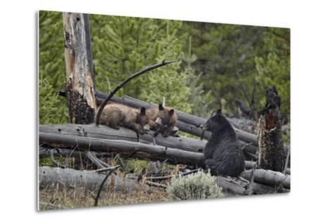 Black Bear (Ursus Americanus) Sow and Two Yearling Cubs-James Hager-Metal Print