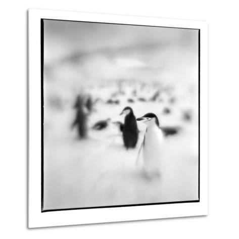 Chinstrap Penguins, Antarctica-Paul Souders-Metal Print