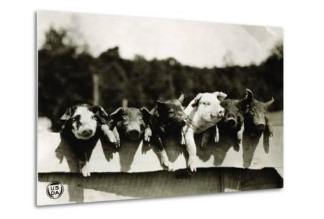 Row of Pigs Resting on Fence--Metal Print