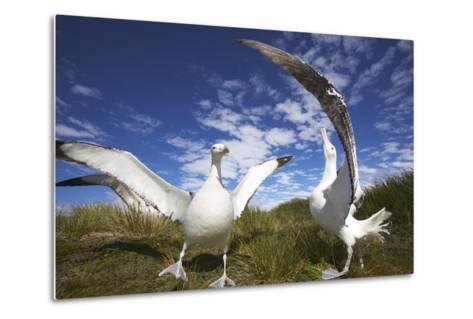 Wandering Albatrosses on South Georgia Island-Paul Souders-Metal Print