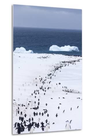 Chinstrap Penguins in Snow, Deception Island, Antarctica-Paul Souders-Metal Print