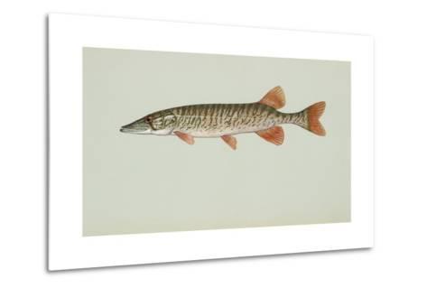 Redfin Pickerel--Metal Print