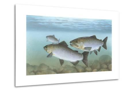 Pacific Salmon--Metal Print