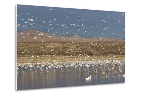 Greater Sandhill Cranes (Grus Canadensis Tabida) Gray in Color-Richard Maschmeyer-Metal Print