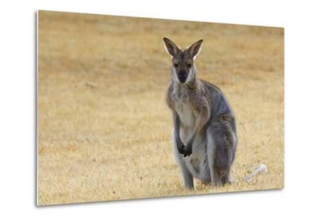 Red Neck Wallaby, Queensland, Australia, Pacific-Jochen Schlenker-Metal Print