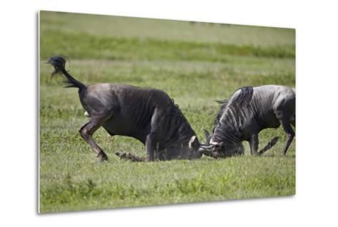 Two Blue Wildebeest (Brindled Gnu) (Connochaetes Taurinus) Bulls Fighting-James Hager-Metal Print