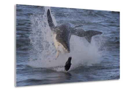 Great White Shark (Carcharodon Carcharias)-David Jenkins-Metal Print
