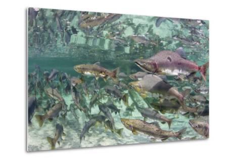 Underwater Spawning Salmon, Alaska-Paul Souders-Metal Print