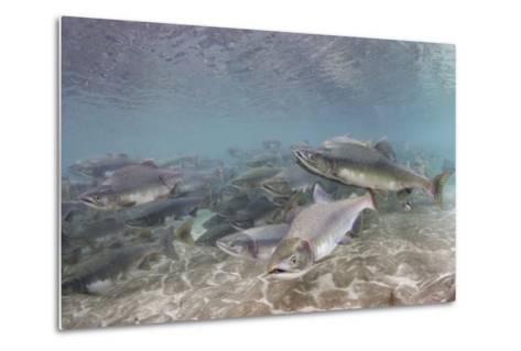 Spawning Salmon at Kinak Bay in Katmai National Park-Paul Souders-Metal Print