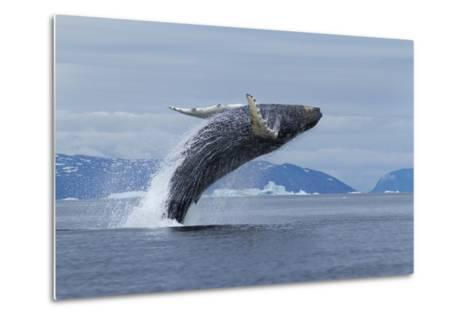 Humpback Whale Calf Breach in Disko Bay in Greenland-Paul Souders-Metal Print