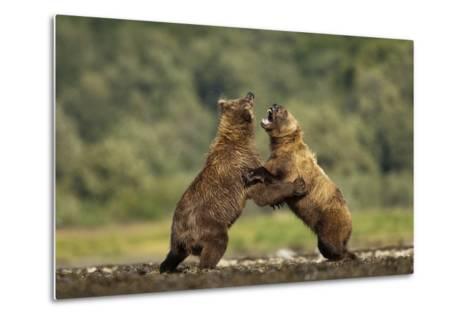 Grizzly Bear, Katmai National Park, Alaska-Paul Souders-Metal Print