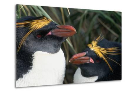 Pair of Nesting Macaroni Penguins-W^ Perry Conway-Metal Print
