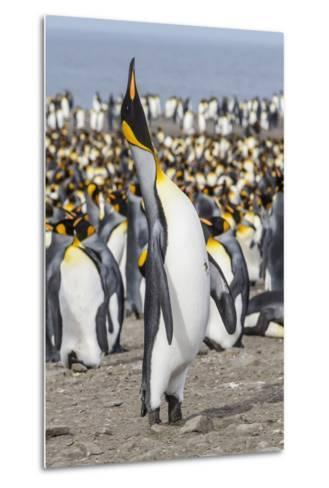 King Penguin (Aptenodytes Patagonicus) Breeding Colony at St. Andrews Bay-Michael Nolan-Metal Print